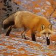 Foxhak
